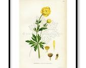 1922 Globeflower, Antique...
