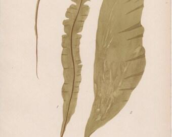 1909 Brown seaweed Antique Print Alga Vintage Botanical Illustration Laminariaceae Algen Botany Kelp Brown Algae Badderlocks Saccharina