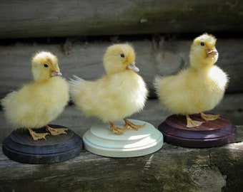 Yellow Duckling Taxidermy Mount