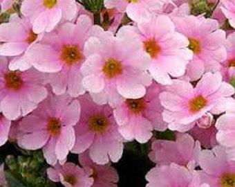 Pink Fairy Primrose Flower Seeds / Primula Malacoides / Perennial 50+