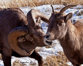 Big Horn Sheep Photograph, Wildlife Photography