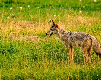 A Coyote Searches For A Meal.