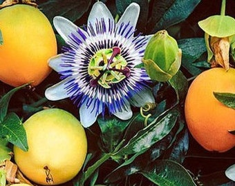 Tropical Yellow Passionfruit Flower Fruit Seeds  / 10 Seeds