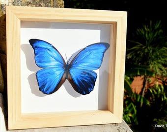 Butterfly Box - Giant Blue Morpho   Like-real in 15cm x 15cm shadow box