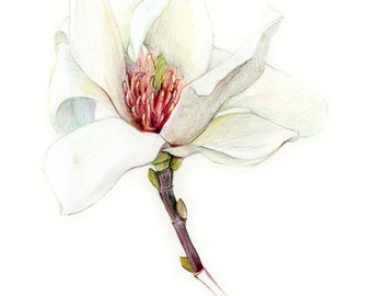 Magnolia - Archival print of my colored pencil drawing / giclée print / wall art