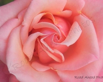 5 x 7 matted photograph, pink rose
