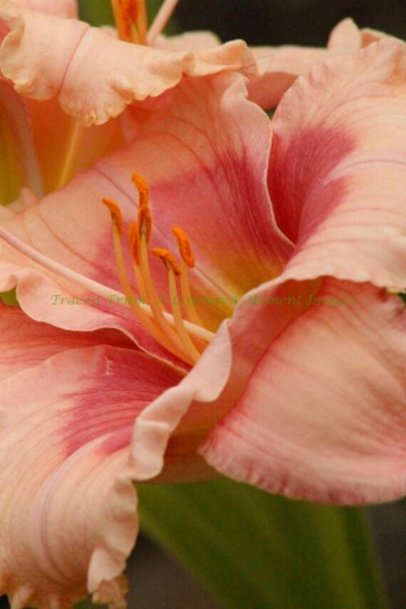 Pink Unfurled