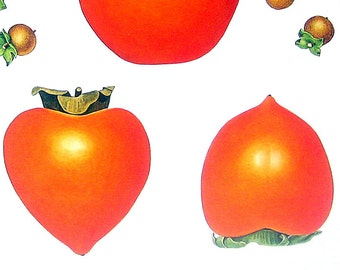 American Persimmon, Date Plum, Kaki Print Vintage Cookbook Color Book Page Plate 1991