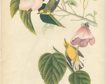 Vintage John Audubon Bird Prints, Blue Winged Warbler, Bird Illustrations, Antique Bird Prints, Ready to Frame Prints, Man Cave Decor,