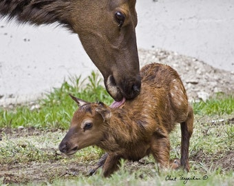 New born Elk fawn with Mother, Original Fine Art Photography