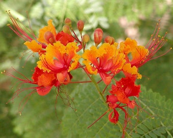 50 Caesalpinia pulcherrima Seeds, Pride of Barbado, Bird of Paradise Seeds.