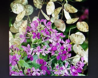 Money Plant, Lunaria Biennis - 2017 - 50 Seeds