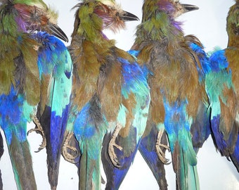 Taxidermy Lilac Breasted Roller  Bird Skins B quality