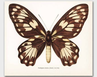 """Monarch Butterfly Print (Country Chic Decor, Office Art) Vintage Butterfly Print --- """"Queen Victoria Birdwing"""" No. 50-1"""