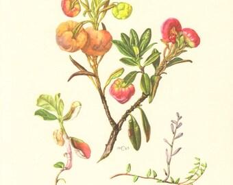 1963 Plant Pathogens, Exobasidium rhododendri, Exobasidium oxycocci, Exobasidium vaccinii Vintage Offset Lithograph