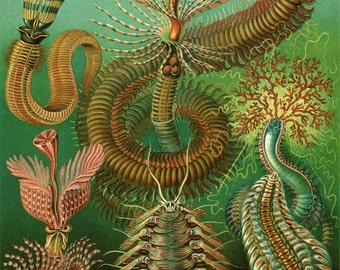 Sea Creatures Chaetopoda Plate  - Ernest Haeckel Biological Poster - Evolution - Giclee Fine Art Print -