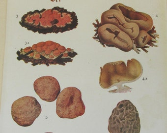 Antique 19th Century Italian Botanical Coloured Book Plate - Fungi - Ideal For Framing # IV
