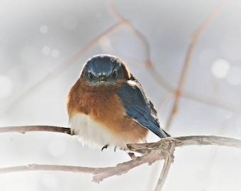 Eastern Blue Bird, Bird Photography, Color Photography, Wildlife, Nature, Maine