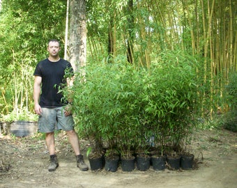 Black Bamboo - Live Bamboo Plant - Free Shipping