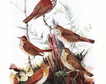 1917 Bird Print - Plate 105 - Wood Thrush - Vintage Antique Art Illustration by Louis Agassiz Fuertes 100 Years Old