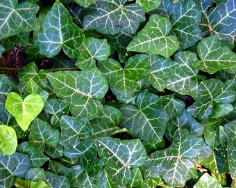 "English Ivy 48 Plants - Hardy Groundcover - Sun or Shade - 2 1/4"" Pot"