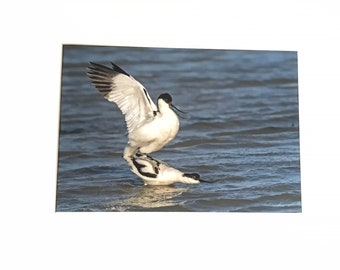 Avocets Mating - A4 Photo Mounted/Framed
