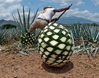 1 Plants agave tequilana