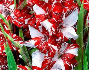 Gladiolus Bulbs, (not seeds) Perennial Flower 5 Bulbs (item No: 15)