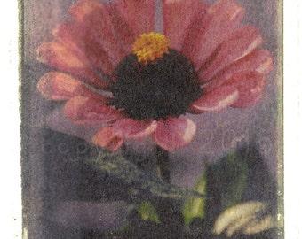 Polaroid transfer - Pink Zinnia