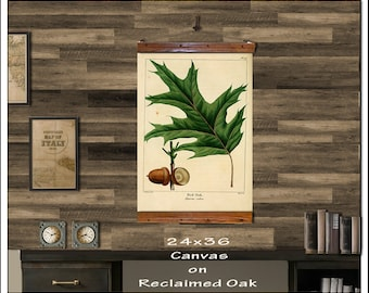 Red Oak Hanging Botanical Print. Antique Pull Down Chart. Vintage School Chart. 24x36 Hanging Charts, Red Oak 208