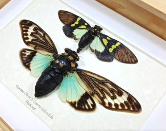 FREE SHIPPING Framed Tosena splendida Turquoise Cicada and Gaeana cheni Taxidermy A1 #100