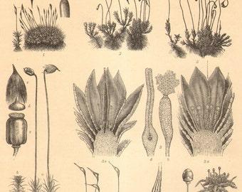 1904 Mosses, Liverworts, Hornworts Original Antique Engraving to Frame