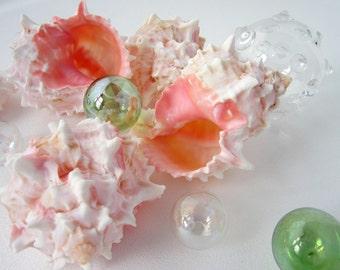 Beach Decor Pink Specimen Seashell - Nautical Pink Murex Specimen Shell, 3-4in, 1PC