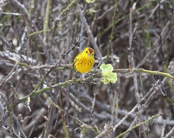 Yellow Warbler, Galapagos Islands, Ecuador, Bird Photograph, Bird, Galapagos wildlife.