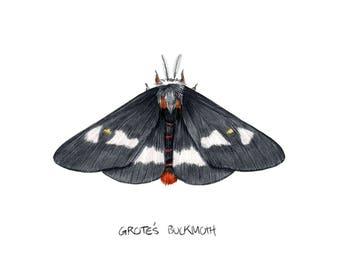 Grote's Buckmoth  (Hemileuca grotei)