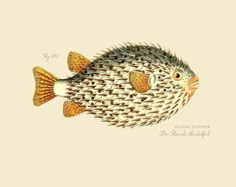 """Vintage Fish """"Der Rounde Stachelfish"""" Druck 8 x 10 P187"""