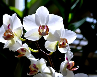 Nature Photography- White Orchids- Travel, Southern, Garden, Flower, Botanical, Floral, Fine Art Photography- 8x10 Flower Photography