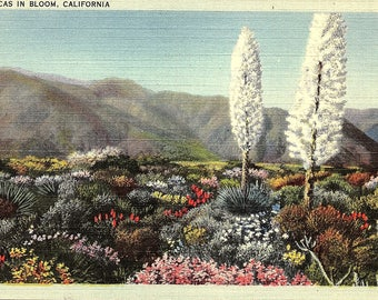 Yuccas, Blooming, California - Postcard - Vintage Postcard - Unused (PP)
