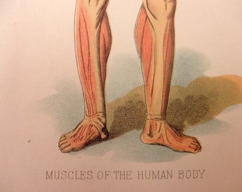 original page - 1905 color MEDICAL CHART from antique medical book - Human Muscular System