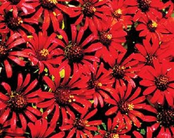 Red Spider Zinnias