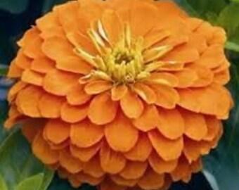 Zinnia Yoga Orange Flower Seeds / Annual  50+