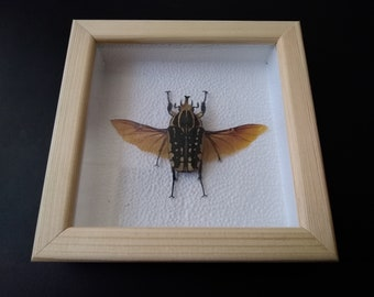 Home decore Bronze Beetle in the frame Chelorrhina Polyphemus