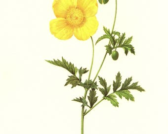 Lovely Vintage Yellow Poppy Print Redoute Botanical Print Yellow Flower French Country Decor Office Decor Wedding Gift for Birthday pjr 3091