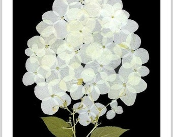 Set of 6 Pressed Flower Cards -  Hydrangea - Blank Notecards - #080