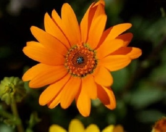 40+ African Daisy Orange Glory Flower Seeds / Annual