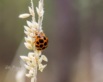 Red Lady Bug - Red - Orange - Lady Bird -  Insects - Trees and Plants - Nature - Printed & Mounted Image - Printed Photo - Photography