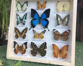 REAL 12 MIX Butterfly  In Wood FrameTaxmermy