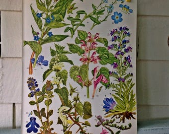 Botanical Print Original Book Plate #20 from Wild Flowers of the World