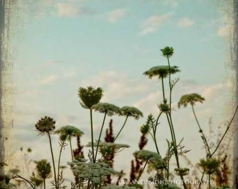 Queen Anne's Lace Photo blue & brown decor, baby nursery print, vintage wall art
