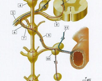 Thoracic Spinal Nerve & Connections to Sympathic Trunk Anatomy Flash Card by Frank H. Netter to Frame or for Paper Arts PSS 2727